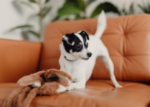 pup on couch